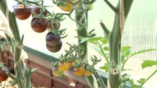 140 сортов томатов вырастила ижевчанка на своём участке